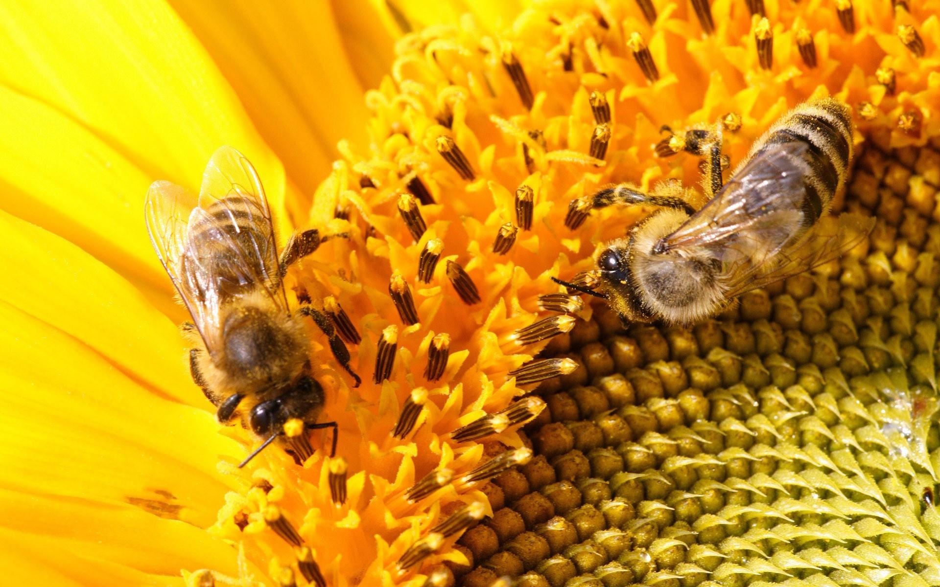 Bee-HD-Wallpaper-6